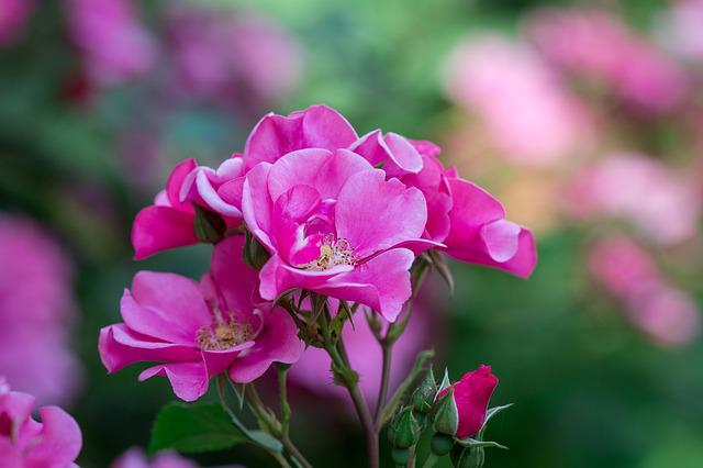 Rose, Pink, Pink Rose, Flowers, Pink Blossoms, Flower