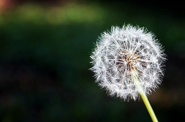 Dandelion, Flower, Flowers, Nature, Spring, Plant