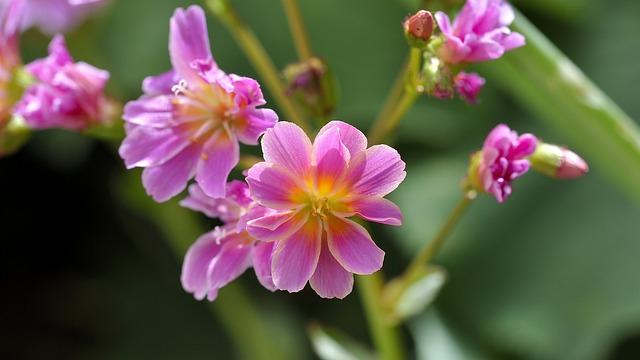 Plant, Flower, Flowers, Pink, Stone Wurz, Nature