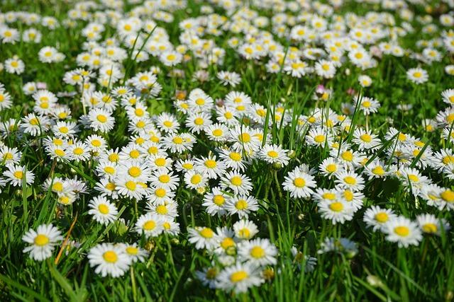 Daisies, Flowers, Plants, White Flowers, Asteraceae