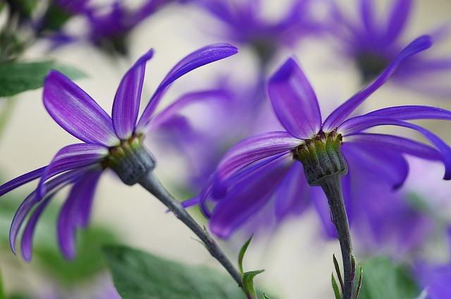 Cineraria, Blue, Flowers, Macro, Nature, Garden, Plants