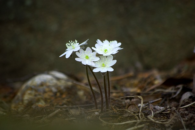Nature, Flowers, Outdoors, Plants, Hepatica, Wildflower