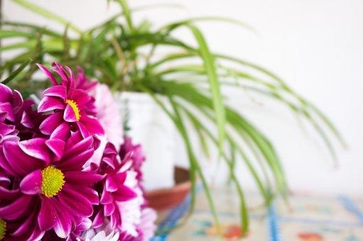 Margaritas, Daisy, Purple, Mallow, Flowers, Plants