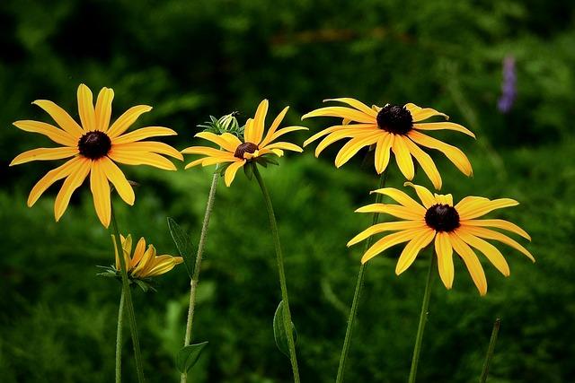 Black-eyed Susan, Flowers, Plants, Rudbeckia