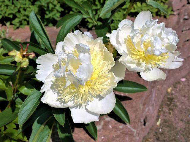 Flowers, Pion, Garden, Summer Flowers, Plants