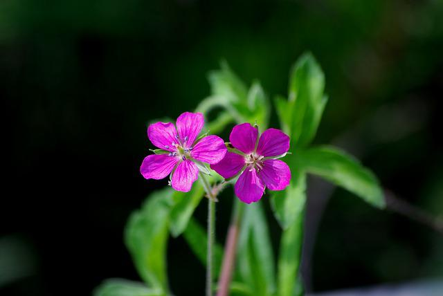 Flowers, Nature, Plants, Wildflower, This Cranesbill