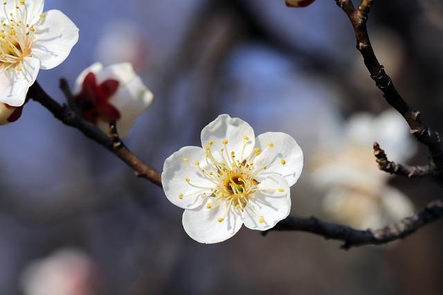 Plum, Spring, Republic Of Korea, Flowers