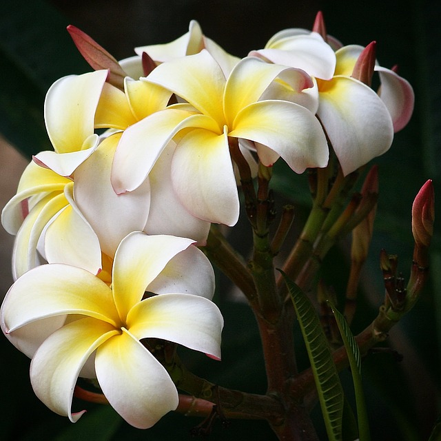 Plumeria, Flowers, White, Bloom, Botanical, Nature