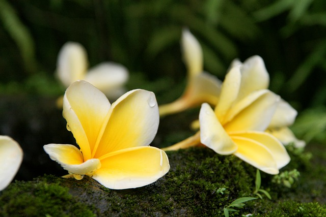 Plumeria, Frangipani, Flowers, Yellow, Exotic, Bloom