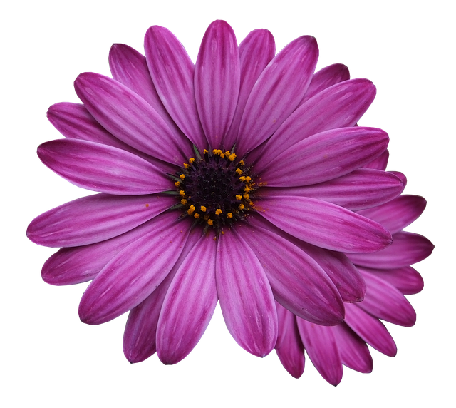 Flower Marigolds, Purple Flower, Flowers Png