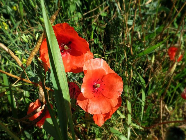 Free photo flowers poppies plant nature poppy red blooms max pixel mightylinksfo
