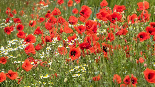 Poppy, Chamomile, Flower Meadow, Poppy Flower, Flowers