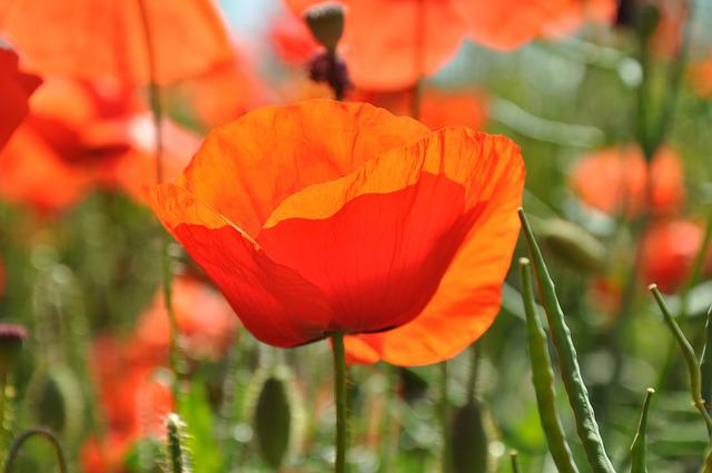 Flowers, Poppy, Nature, Field