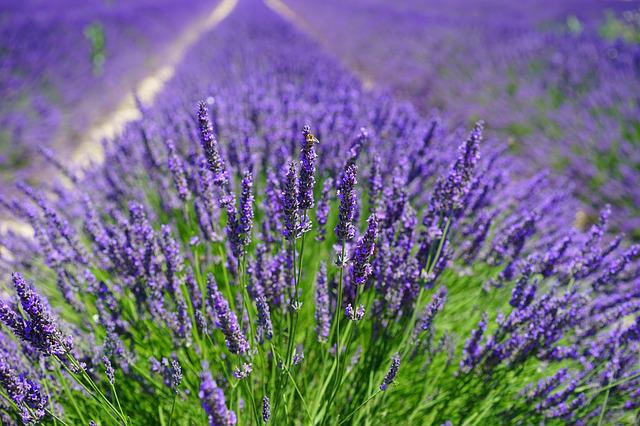 Lavender Field, Flowers, Purple, Flora, Floral