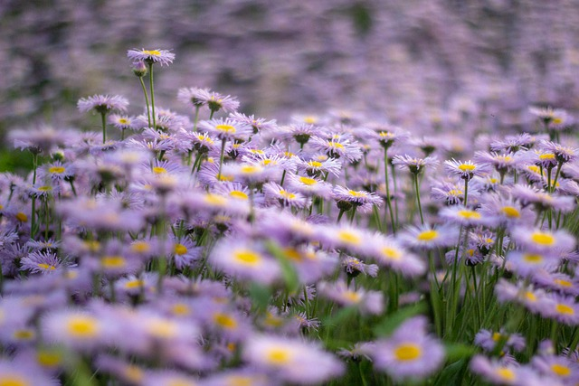 Flowers, Purple, Perennial Asters, Flowers Frost