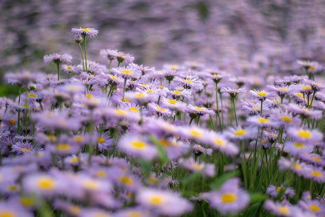 Flowers, Purple, Perennial Asters, Flowers Frost