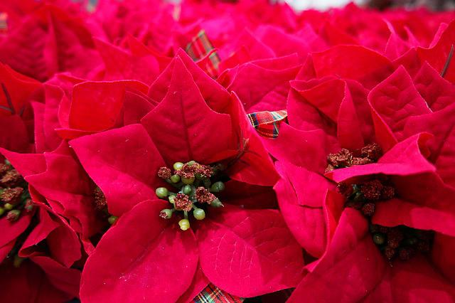 Poinsettia, Harmony, Flowers, Red Flower, Christmas