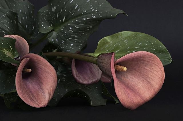 Calla, Flower, Flowers, Red, Mourning