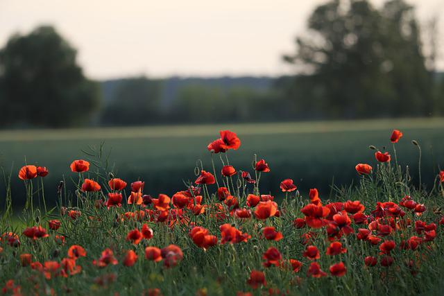 Red Poppies, Flowers, Blooming, Meadow, Spring, Calming