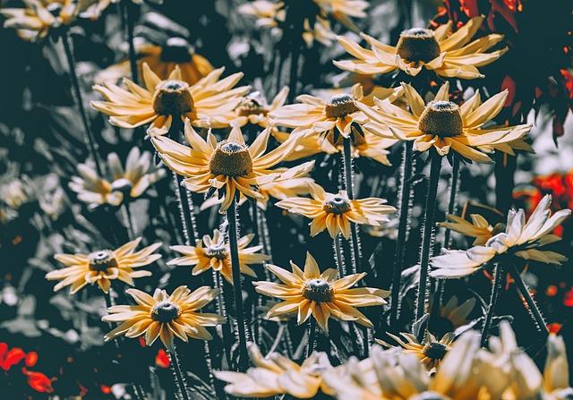 Rudbeckias, Flowers, Coneflowers, Yellow Flowers