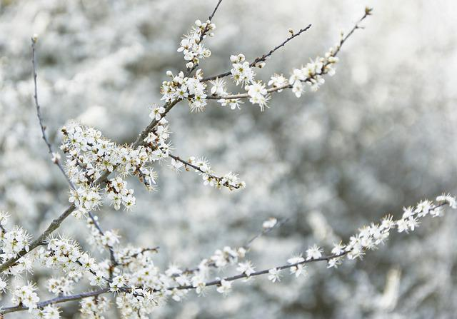 Blackthorn, Schlehe, Black Thorn Flower, Flowers, White