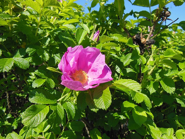 Rosa Rugosa, Flowers, Shrub, Robust, Hardy