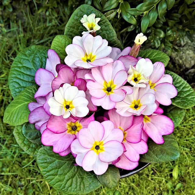Primroses, Flowers, Signs Of Spring, Small Pink Flowers