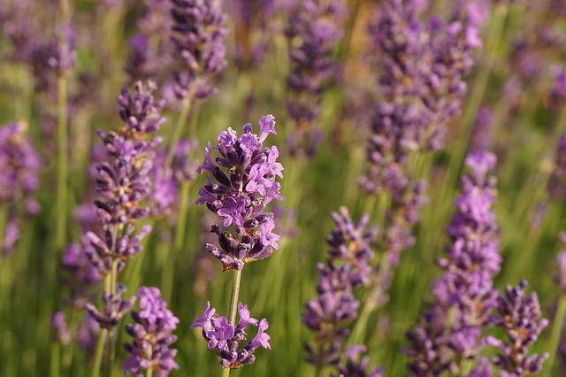 Lavender, Flowers, Nature, Purple, Smell, Garden