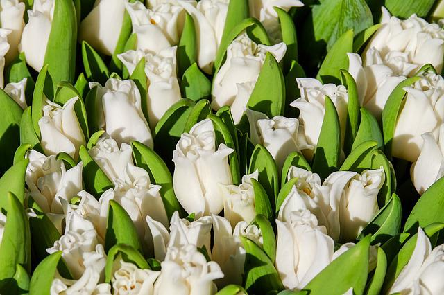 Tulips, Flowers, Bloom, White, Spring, Spring Flowers