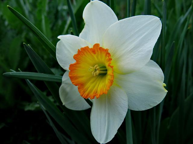 Narcissus, Nature, Flower, Plant, Spring, Flowers
