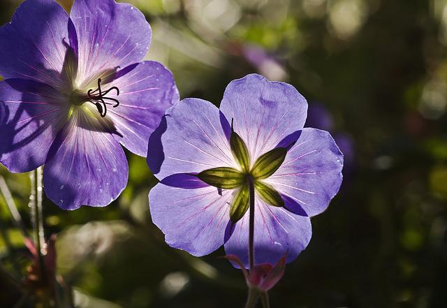 Cranesbill, Flowers, Spring, Nature, Meadow Cranesbill