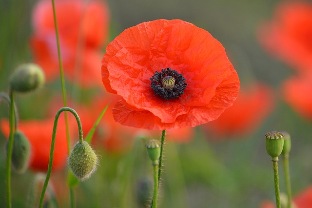 Flower, Poppy, Spring, Nature, Red Flower, Flowers