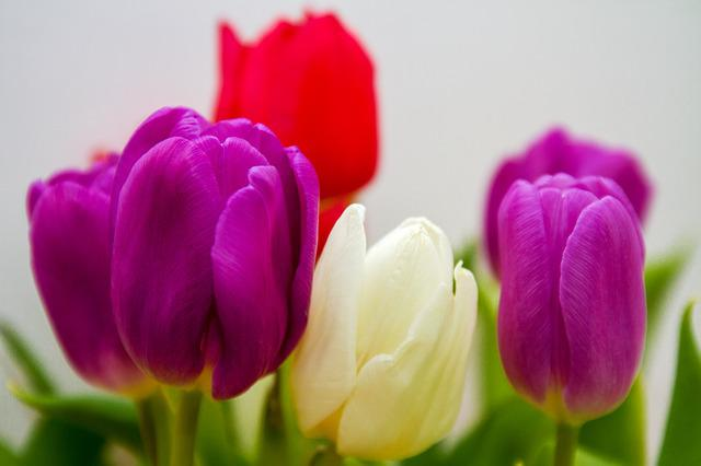 Flowers, Tulips, Spring, Purple, White, Red