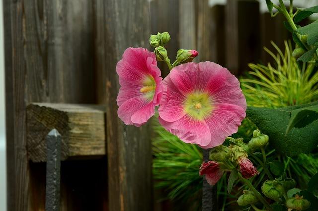 Stock Rose, Mallow, Pink, Flowers, Garden, Flower