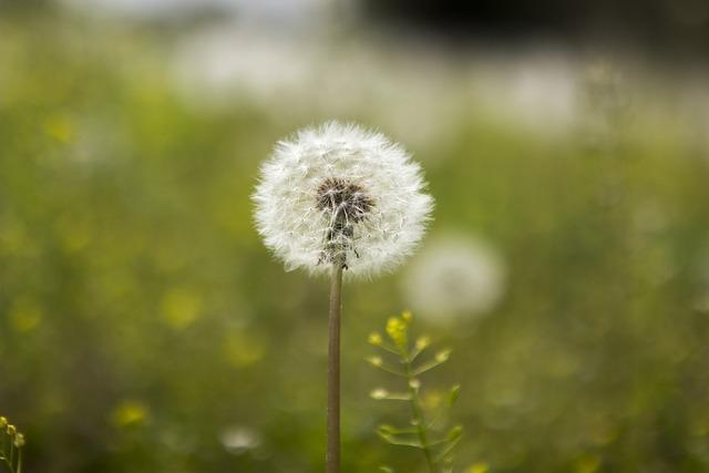 Dandelion Bunch, Nature, Summer, Flowers