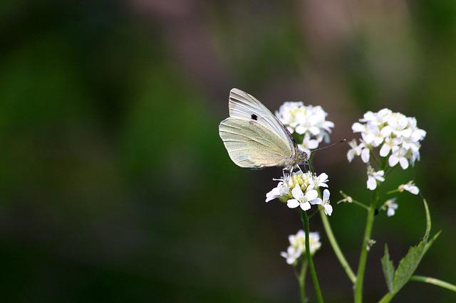 Butterfly, Flowers, Insect, White Flowers, Summer