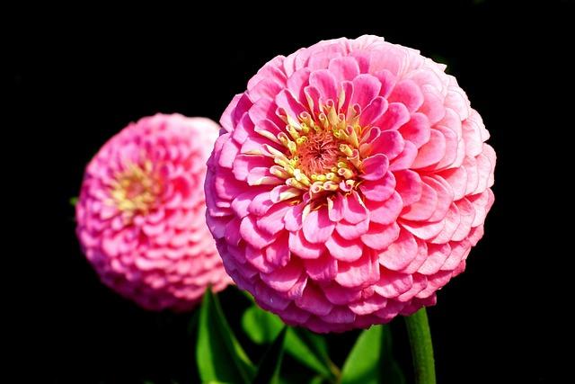 Tin, Flowers, Pink, Summer, Nature, Garden, Closeup