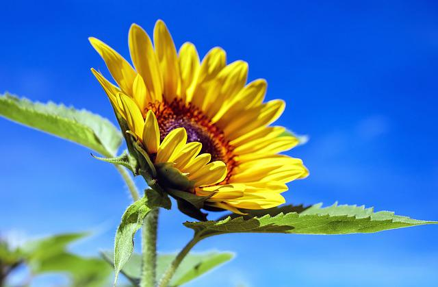 Sun Flower, Flower, Flowers, Yellow, Sky, Summer