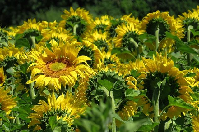 Sunflower, Sunflower Field, Flowers, Bright, Sunny