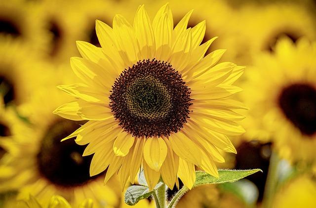 Sunflowers, Flowers, Sunflower Field, Field