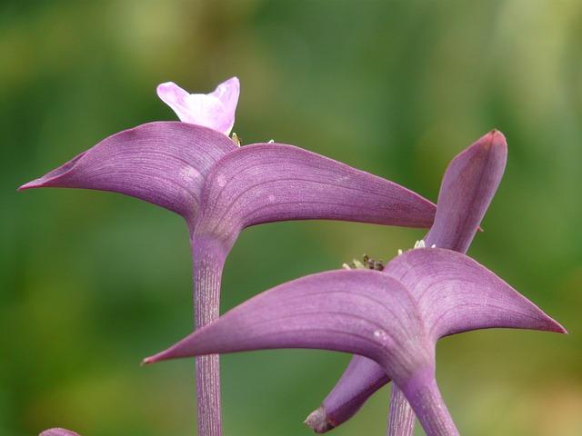 Flowers, Mexican Dreimasterblume, Three Master Flower