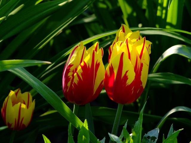 Tulips, Tulip Bed, Flowers, North Park, Düsseldorf