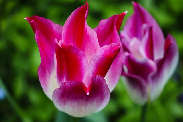Tulip, Tulipa, Pink, Violet, White, Petals, Flowers