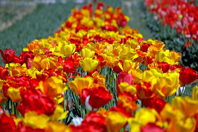 Tulips, Colorful, Flowers, Tulip Field, Spring