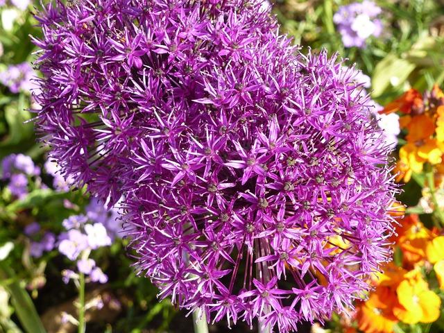 Flowers, Alium, Violet