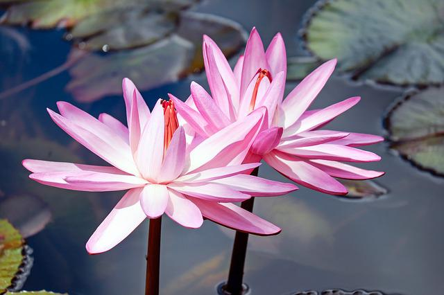 Water Lilies, Lily Pink, Flowers, Bloom, Pond