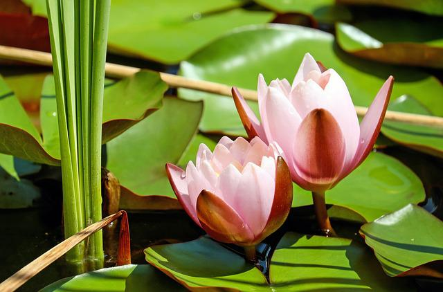 Water Lily, Flower, Blossom, Bloom, Flowers, Pink