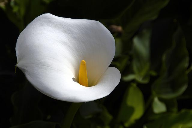 Calla, Flower, Flowers, White, Mourning