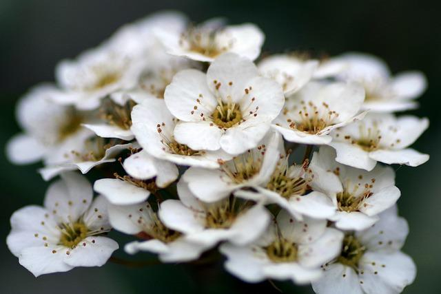 Crataegus, Flower, White, Minor, Flowers, Stamens, Pink