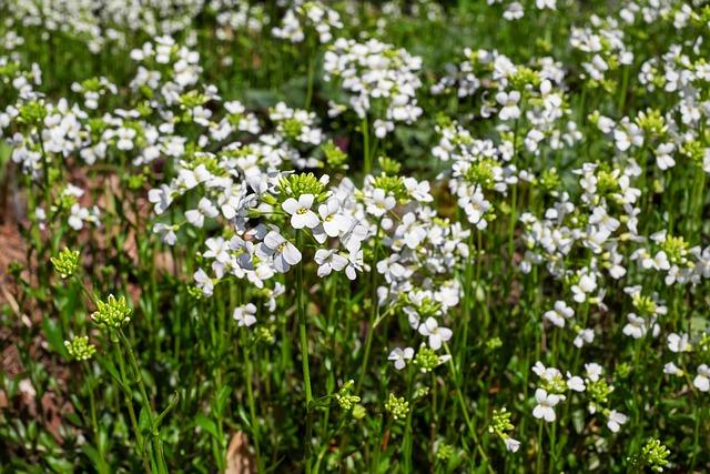 Cress, Cruciferous, Flowers, White, White Flowers